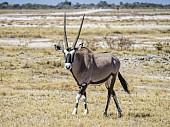 Gemsbok in Grassland