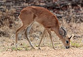 Steenbok Art Reference Photo