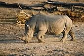 White or Square-Lipped Rhinoceros