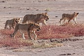 Young Lions Foursome