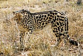 King Cheetah in Winter Grass