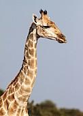Giraffe Female