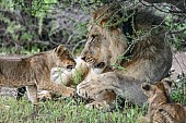 Lion Cub Sniffing Adult Male Lion