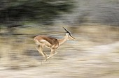 Young Impala Ram at Speed