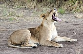 Lioness Lying Down, Yawning