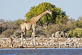 Giraffe at Waterhole, Side-on view
