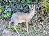 Damara Dik-Dik Male