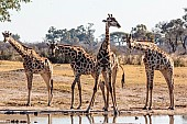 Group of Giraffe Preparing to Drink
