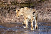 Young Lioness Crossing Shallow Water