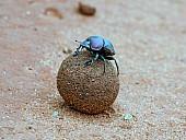 Dung Beetle Atop Dung Ball