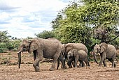 Elephant Family Group on the Move