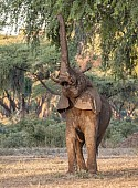 Elephant Stretching for Green Leaves