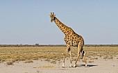 Giraffe Moving Across Open Plains