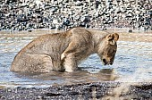 Young Lion Looking into Water