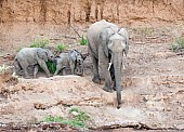 Elephant Female with Youngsters