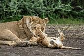 Lioness Nuzzles Cub