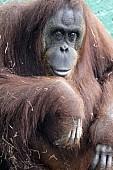 Captive Orangutan