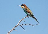 European Bee-eater on Twig, side-on view