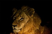 Lion Portrait, Night Shot