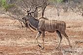 Kudu Bull Stepping Out
