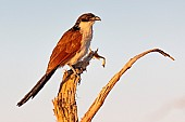 Burchell's Coucal on Tree Stump