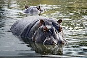 Hippo in Pool, Three-Quarter View