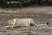 Lioness Lying Down to Lap Water