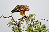 Tawny Eagle Feeding on Prey