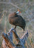 Helmeted Guineafowl Looking Over shoulder