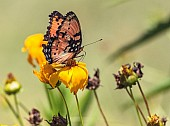 Gaudy Commodore Butterfly Seeking Nectar