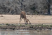 Giraffe bending to drink, reference photo