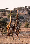 Front-on View of Male Giraffe Pair