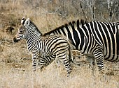 Zebra Mother with Young Foal