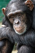 Chimpanzee with Chin on Forearm