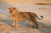Young Lion Male Standing