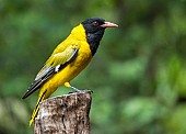Black-headed Oriole, Side-on View