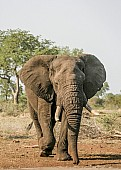 African Elephant Moving Towards Waterhole
