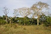 Fever Trees or Acacia xanthophloea