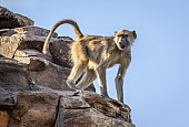 Alert Baboon on Rocky Outcrop