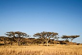 African Acacia Trees and Winter Grass