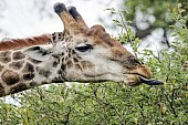 Giraffe Browsing