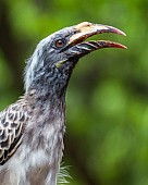 African Grey Hornbill Female, Side-on of Head