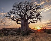 Baobab Tree at Sunrise