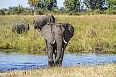 Elephant Wading through Shallows