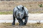 White Rhino Reference Photo