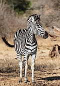 Zebra Standing with Head to Side