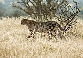 Cheetah Walking, Side-on View