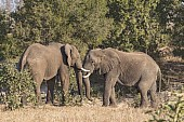 Elephants sparring