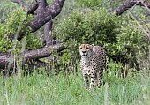 Cheetah Male, Front-on View