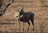 Warthog with Oxpecker Clinging to Face